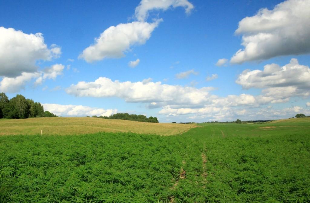 A.Šironas tikisi, kad 2 ha plote auginamų kanapių derliaus užteks pelningai cecho veiklai.Autorės nuotr.