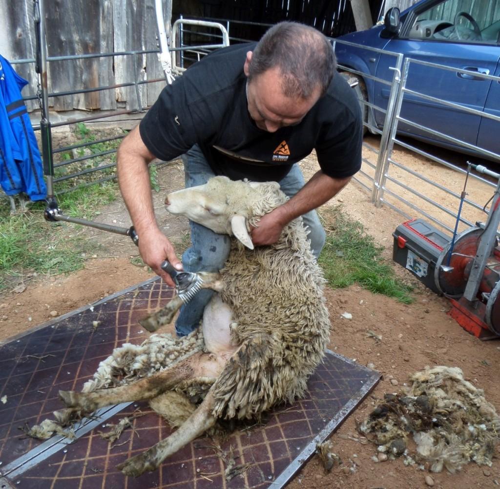 Šiandien avies vilna kainuoja tiek pat, kiek ir jos nukirpimas. Redakcijos archyvo nuotr.