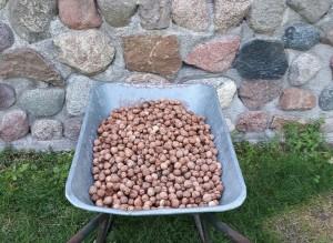 Pernai riešutų augintojai prastu derliumi nesiskundė. A.Endriukaičio albumo nuotr.