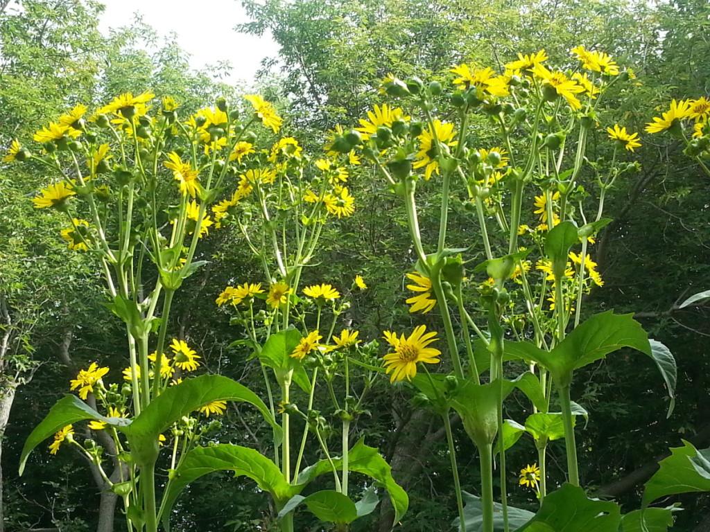 Geltonžiedžius legėstus tinka auginti prie bitynų.