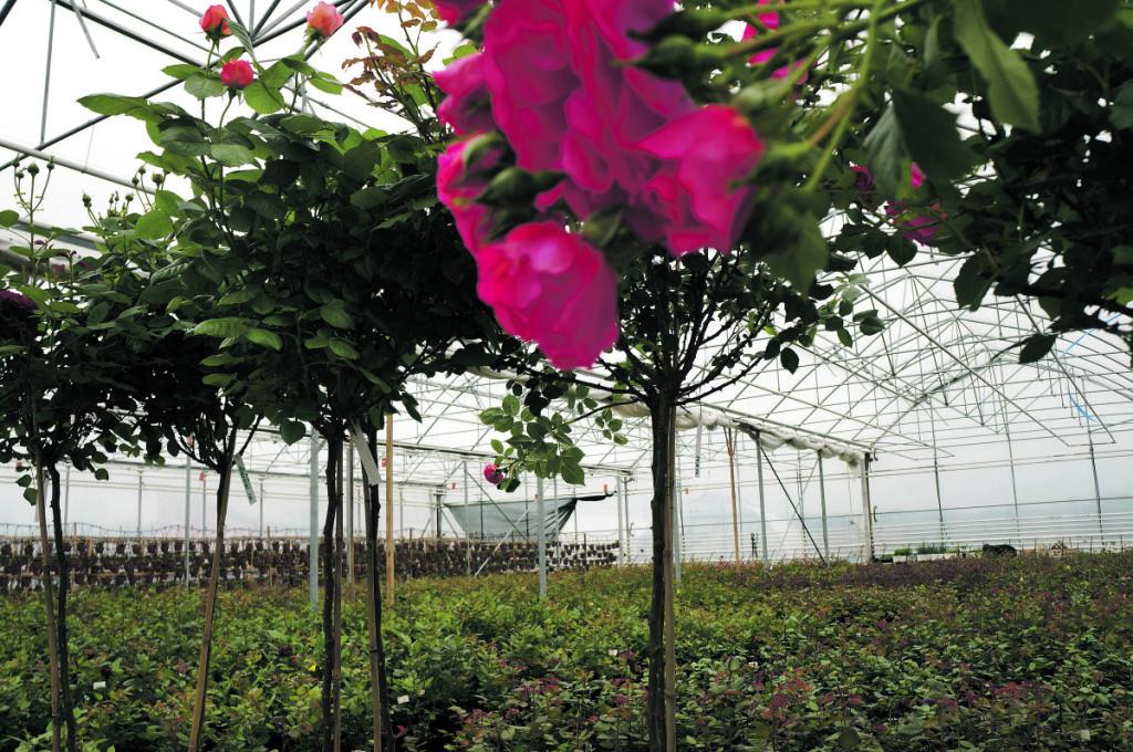 Verbickų šiltnamiuose auga šimtai tūkstančių išskirtinių veislių rožių. Asmeninio archyvo nuotr.