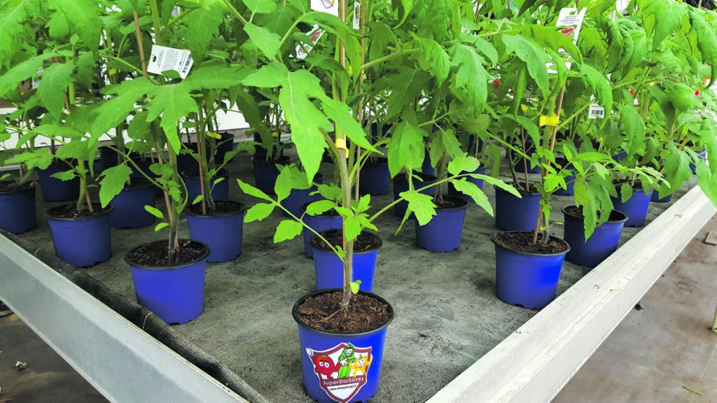 Erdviuose šiltnamiuose auginami ir pomidorų daigai.  Asmeninio archyvo nuotr.