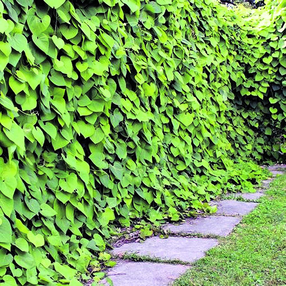 Puošniai vasarą atrodanti žalia kartuolės siena. Asmeninio archyvo nuotr.