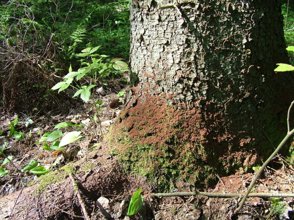 Suvaldyti sanitarinę miškų būklę nėra paprasta ypač tuomet, kai miškus nusiaubia audru sukeltos vėjavartos. Valstybinės miškų tarnybos Miško sanitarinės apsaugos skyriaus archyvo nuotr.