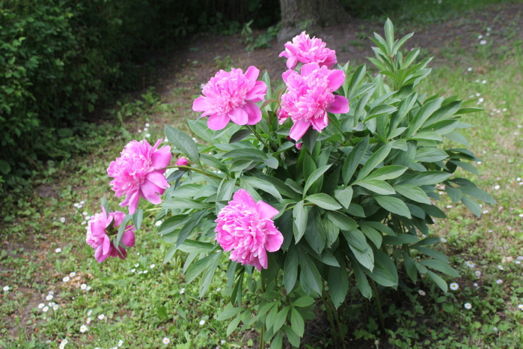 Bijūnai ir jurginai – tarpukario ir pokario metais ypač vertintos gėlės.  Redakcijos archyvo nuotr.