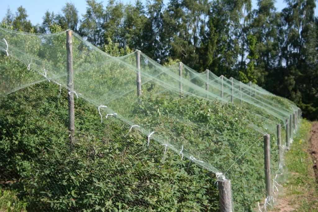 Nokstančias uogas labai mėgsta varnėnai ir strazdai, tad reikėtų pasirūpinti tinklu nuo paukščių ir krūmus pridengti.