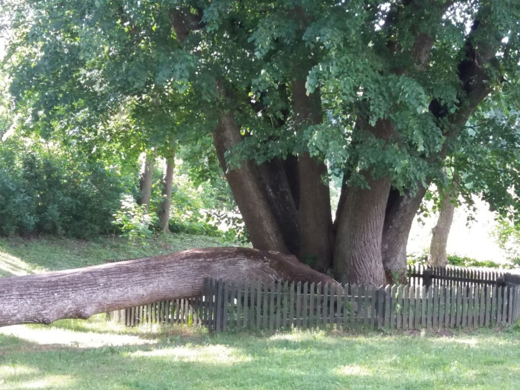 Papilės penkiolikamienė liepa nuo 1960 m. valstybės saugomas botaninis gamtos paveldo objektas.