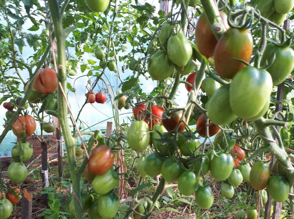 gamtinės sodininkystės puoselėtoja šiltnamyje mulčiuoja pomidorus ir agurkus, o šie atsidėkoja gausiu derliumi.