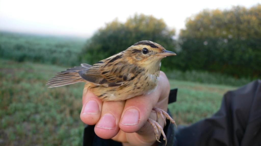 Gelbėti mažai kam žinomą meldinę nendrinukę kainuos 17 milijonų eurų, o kurtinys – rečiausias Lietuvos paukštis – tokio dėmesio nesulaukia.
