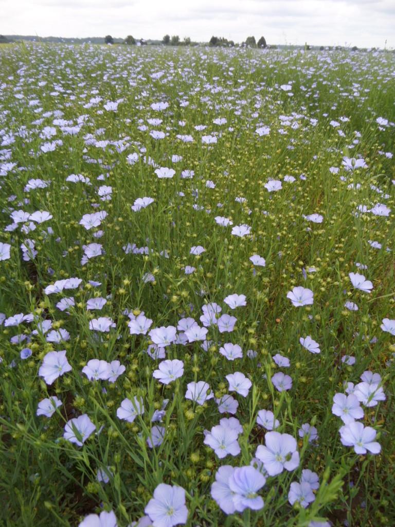 Pastaraisiais metais sėmeninių linų augintojų skaičius išaugo, o deklaruojami šios kultūros plotai – sumažėjo.  Autorės nuotr.
