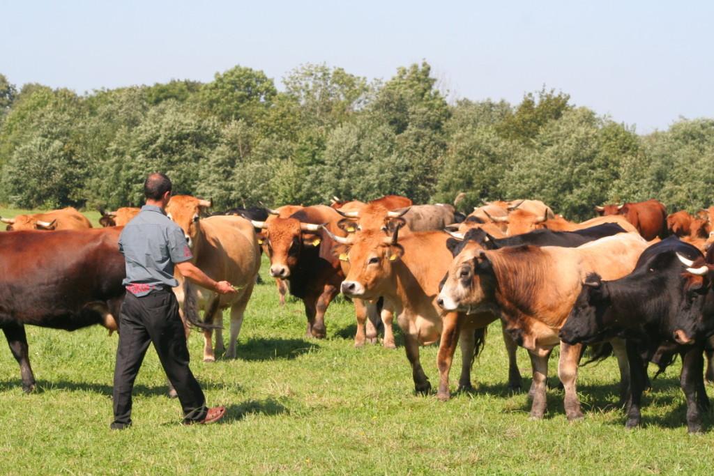 Dar vienas rizikos veiksnys žmonėms, dirbantiesiems žemės ūkio sektoriuje, – raguočiai. Kartais jų elgesys gali būti neprognozuojamas.  Scanpix nuotr.