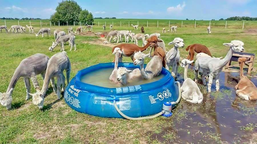Karštą vasaros dieną Vitkauskų alpakos mėgsta atsigaivinti pripučiame baseine. Asmeninio archyvo nuotr.