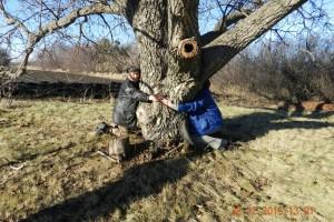 Riešutmedžiai išauga labai dideli - iki 35 metrų aukščio, o jų kamieną vargiai gali apglėbti du žmonės.