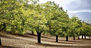 Riešutmedžių giraitės jau kelerius metus nenuvilia augintojų.