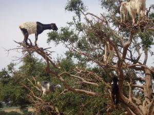 Argano medžiuose laimingos ganosi ožkos. Asmeninio archyvo nuotr.