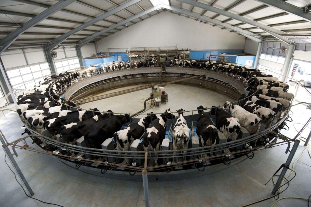 """TO GO WITH AFP STORY BY MATHILDE RICHTER - FILES -  Dairy cows are milked on a rotating """"milking carrousel"""" at the Heideland dairy farm in Kemberg, some 100km south of Berlin, on March 23, 2015. The farm, which underwent a thorough modernising process that cost some EUR 8 million between 2012 and 2014, is readying itself for the withdrawal of EU dairy produce quotas on March 31, 2015.  AFP PHOTO / JOHN MACDOUGALL"""