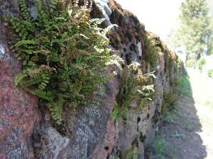Ant akmeninės kapinių tvoros auga Lietuvos Raudonosios knygos augalas – šerinė kalnarūtė.