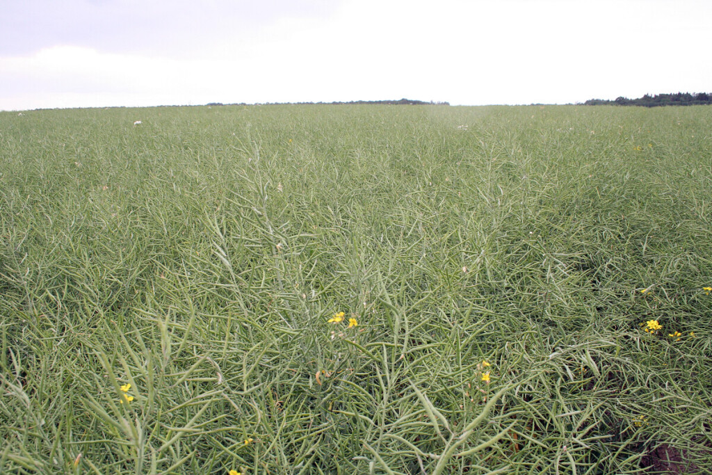 Jei ankštarų kiekis augale sumažėja 1 vnt., pasėlio derlingumas sumažėja 20 kg/ha, sumažėjus sėklų kiekiui ankštaroje 1 vnt., derlius sumažėja 220 kg/ha.