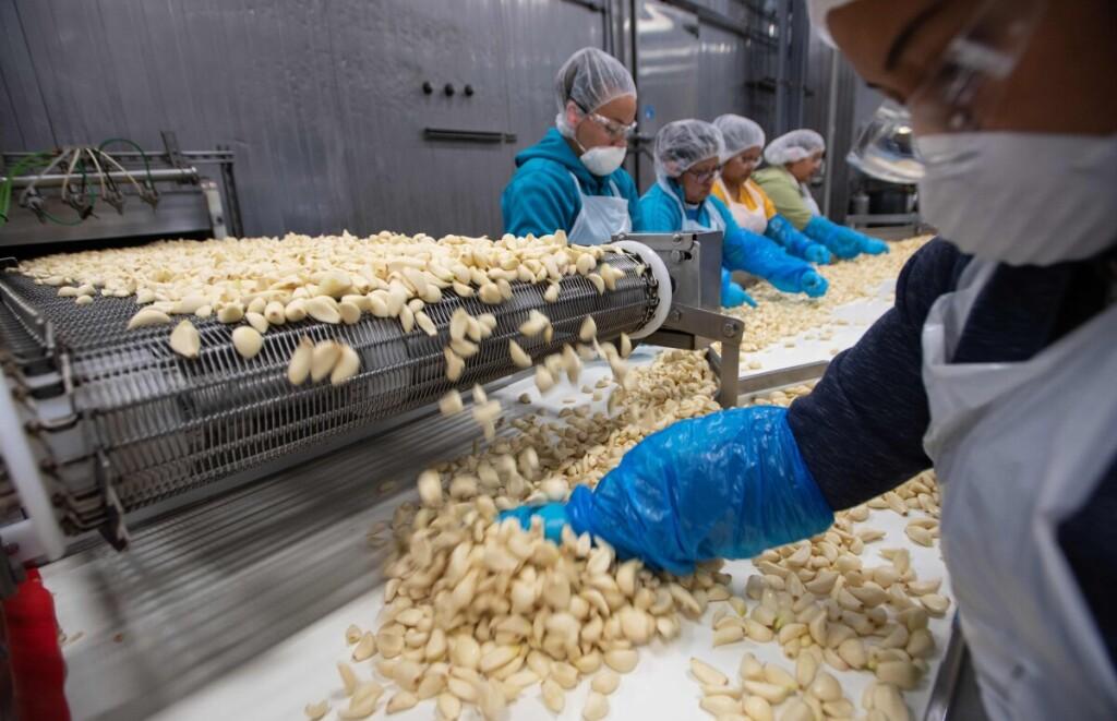 Česnakų augintojai Kalifornijoje dabar negali atsidžiaugti kiniškiems česnakams padidintu importo mokesčiu: ankstesnės konkurencijos buvo neįmanoma atlaikyti.