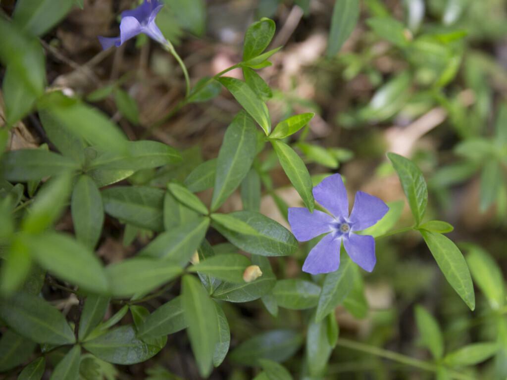 Mažoji žiemė amžinai žaliuojantis daugiametis augalas.