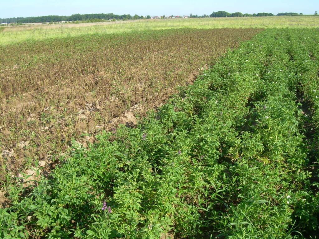 Pastebėta, kad naudojant tas pačias technologijas ir apsaugos priemones, bulvių marui atspariausia lietuviška, vidutinio ankstyvumo bulvių veislė