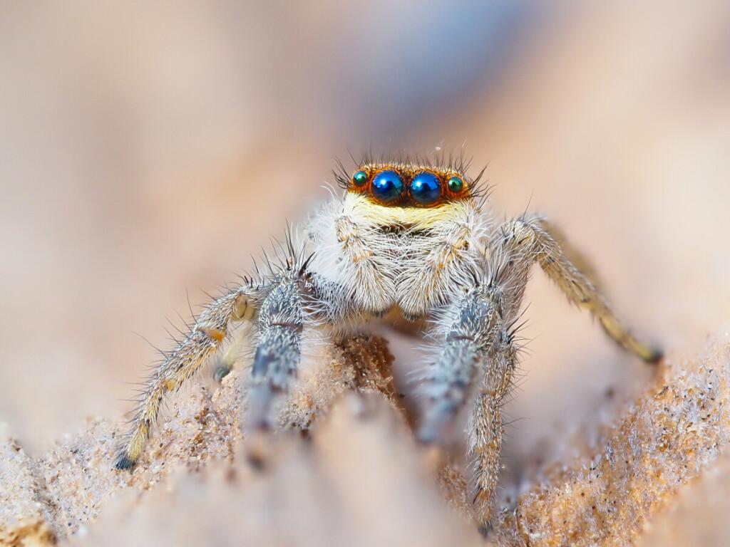 Mieliausi vorai M.Čepuliui – šokliavoriai. Šį rudenį į jo objektyvą pateko gražuolė mėlynakė šokliavorė, turinti dvi poras akių. M. Čepulio nuotr.