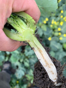 Perpjovę rapso šerdį, specialistai pamatė, kad kūgelis truputėlį yra peraugęs, pasiekęs apie 1,5 cm ilgį, lapkričio viduryje jis dar vegetavo. Rapso šaknies šerdyje esančios įtrūkos rodo, kad augalai nebuvo kaip reikiant patręšti mikrotrąšomis, todėl jie nesukaupė pakankamai cukraus. Tai padidina iššalimo riziką.