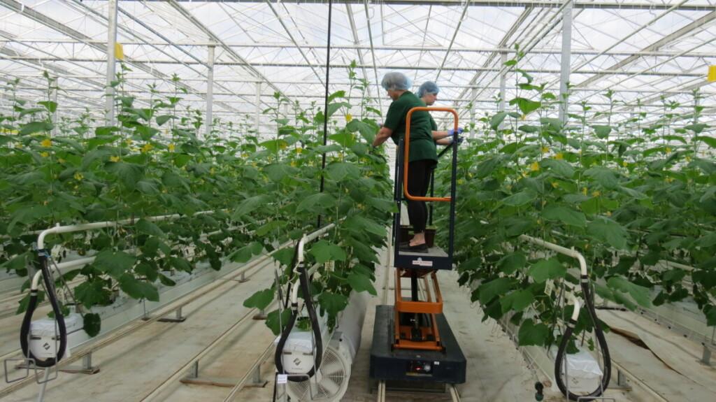 Pagal naujausias europines technologijas įrengti šiltnamiai užima 10 hektarų plotą.