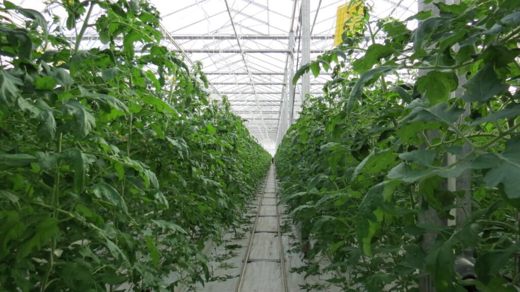 Tinkamas mikroklimatas ir laiku panaudota biologinė apsauga užtikrina didelį produktyvumą.