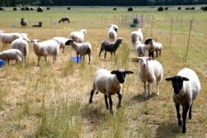 Prijaukintos Milišiūnų avys skuba pasitikti svečių. A.Švelnos nuotr.