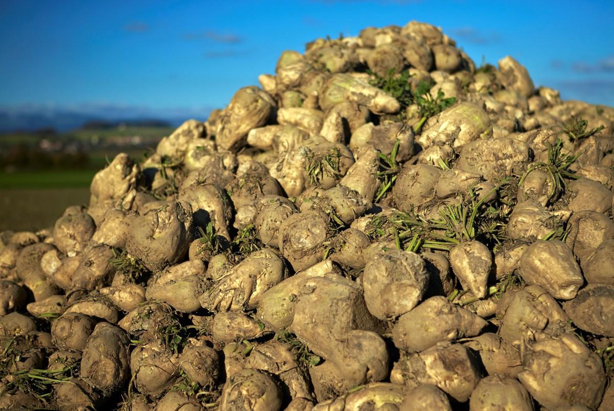 Neaišku, ar Marijampolės cukraus fabrikas šiais metais imsis vietos ūkininkų išaugintų cukrinių runkelių perdirbimo.