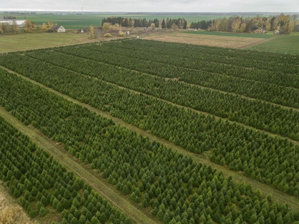 D.Pranciulioūkio Kalėdų eglučių plantacija kasmet atnaujinama – kiek išpjauna, tiek atsodina.